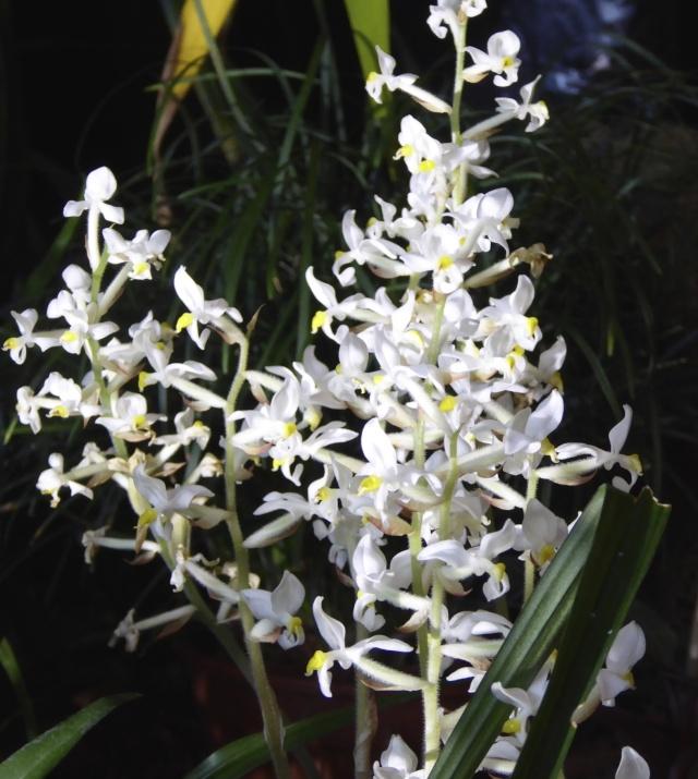 Münchner Orchideenausstellung! P1010722