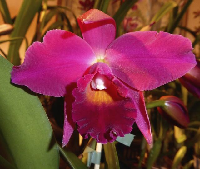 Münchner Orchideenausstellung! P1010723
