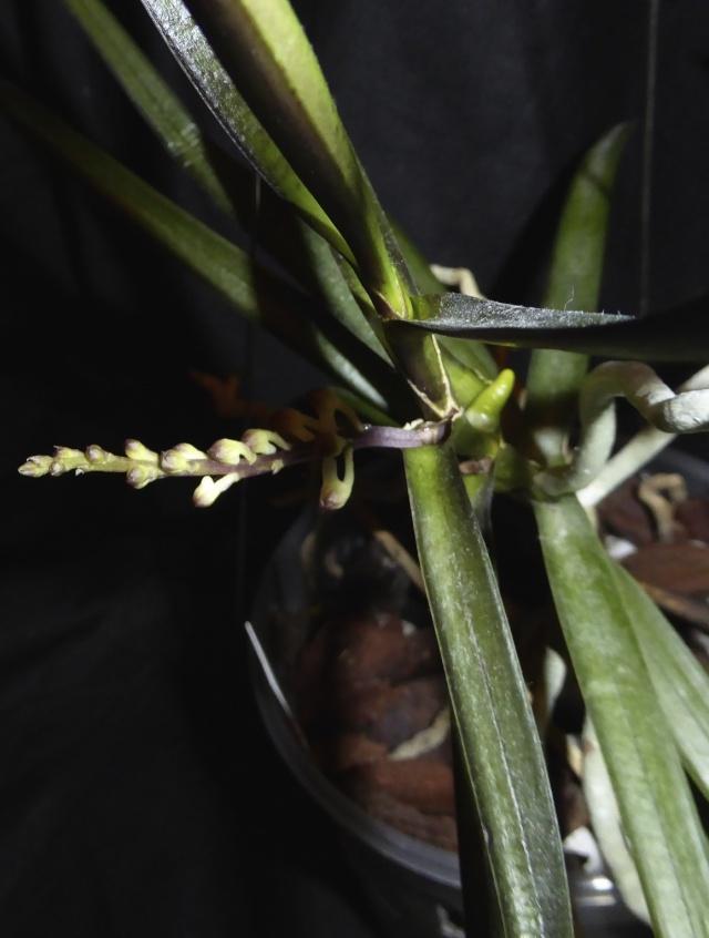 Ascocentrum christensonianum P1010739