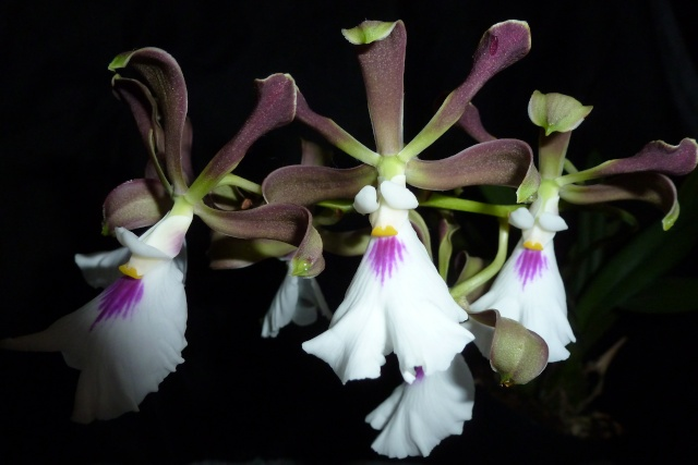 Encyclia cordigera P1060112