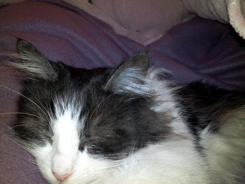 Grisette, noire et blanche poils longs née en 2009 Img_2014
