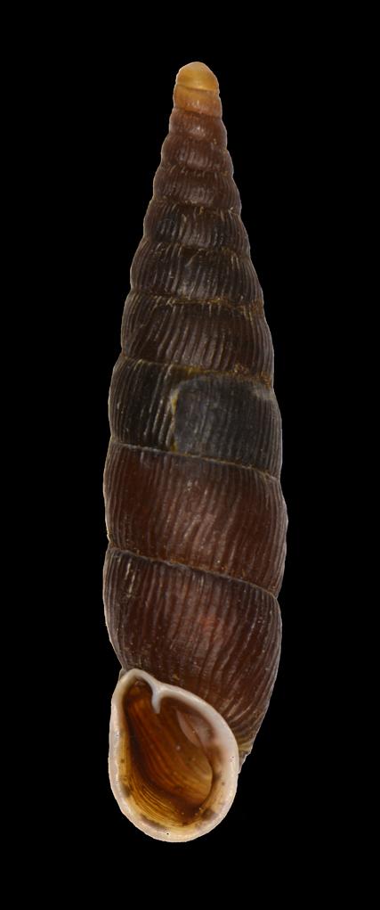 Macrogastra ventricosa (Draparnaud, 1801) Macrog10