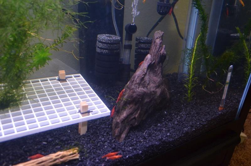 Red Cherry Shrimp Dsc_0013