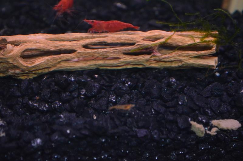 Red Cherry Shrimp Dsc_0015