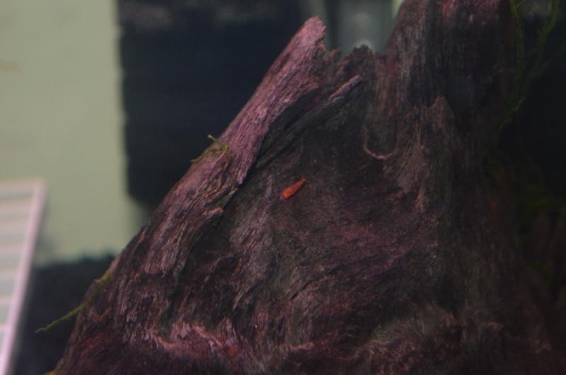 Red Cherry Shrimp Dsc_0016
