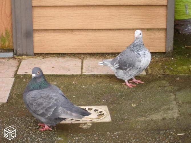 Pigeons texans de couleur - Page 2 Texan_13