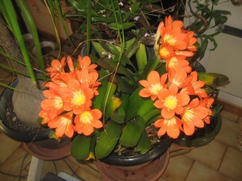 P'tit coin de nature dans mon salon Clivia10