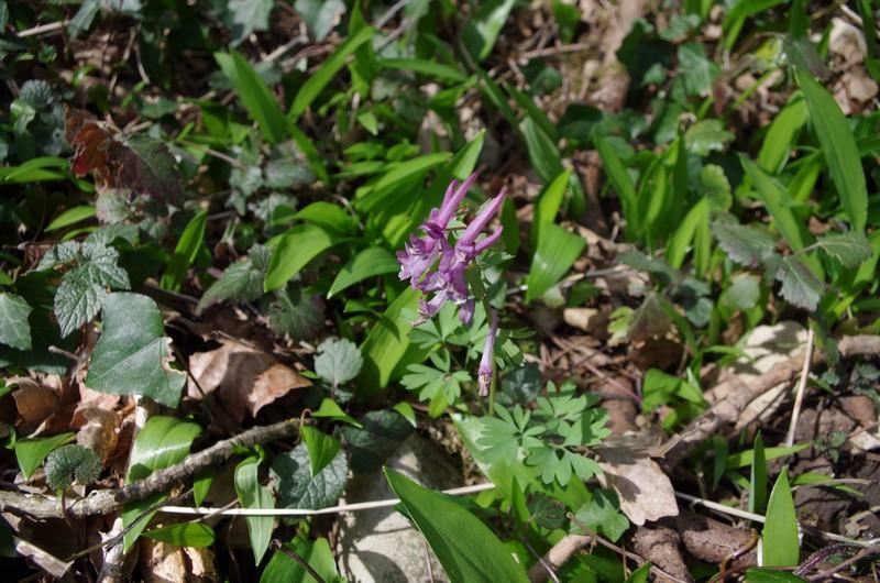 Le printemps arrive aux portes de la Savoie Imgp0411