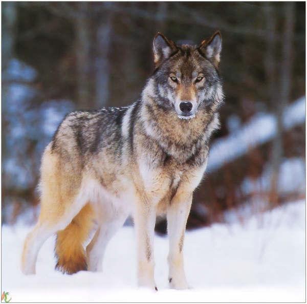 Les Loups - Page 2 08092110