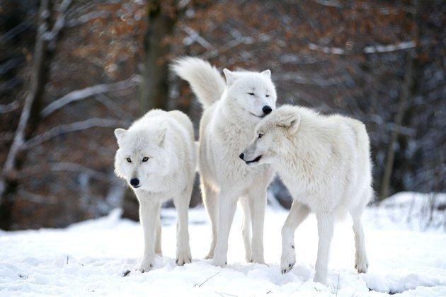 Les Loups - Page 2 Danse-10