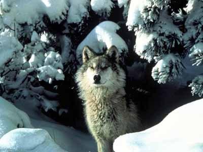 Les Loups - Page 2 Greywo10