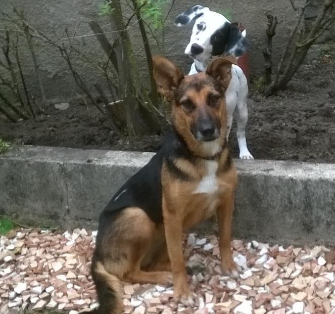 ESTRELLA - Croisée berger allemand - née en 2012 Estrel12
