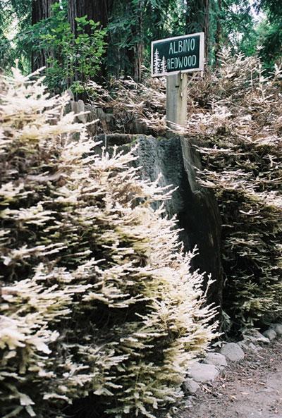 Sequoia albina-Curiosità botanica Sequoi13