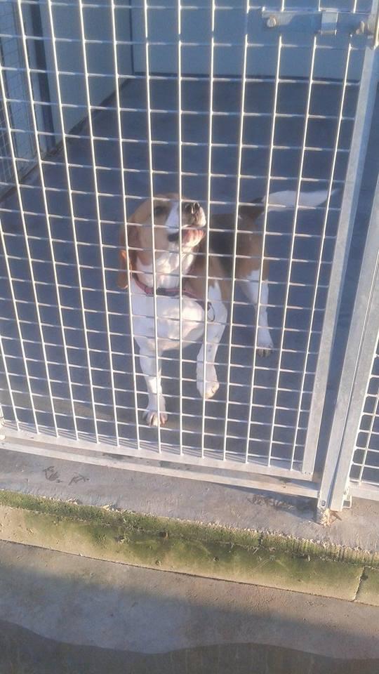 Avis Beagle arrivé 2 eme chiens 10893311