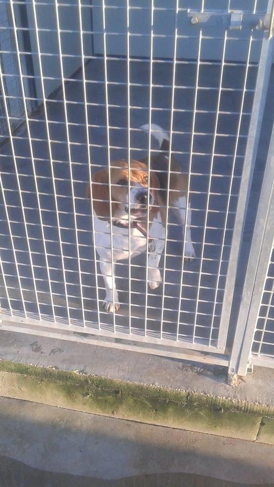 Avis Beagle arrivé 2 eme chiens 10904310