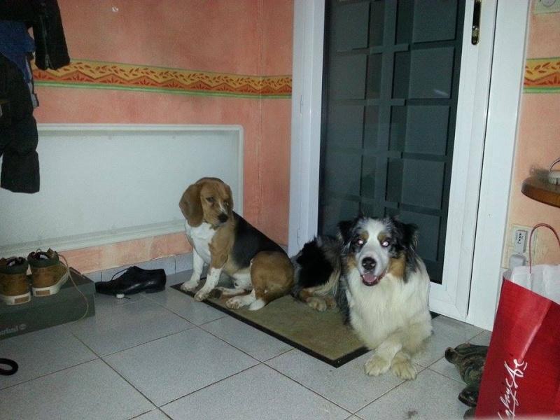 Avis Beagle arrivé 2 eme chiens 10921710