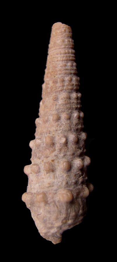 [résolu]Cerithium loryi Hébert et Renevier, 1854 Serrat10