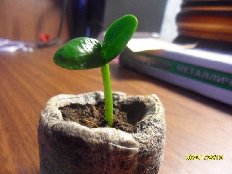 Посев семян Sam_0114