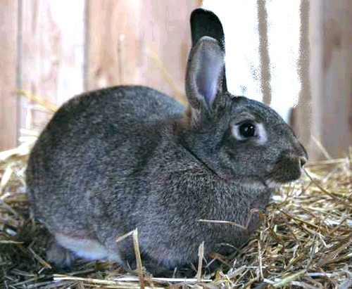 le lapin Normand  Pic110