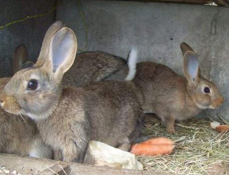 le lapin Normand  Pic211