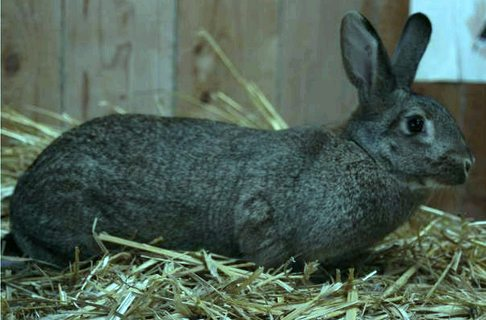 le lapin Normand  Pic310