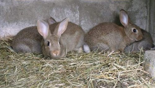 le lapin Normand  Pic410