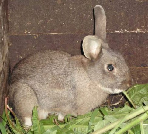 le lapin Normand  Pic5a10