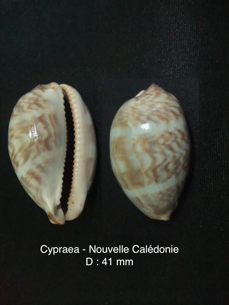 Cypraea Nouvelle Calédonie pour identification = Cypraea Eglantina juvénile Cyprae11