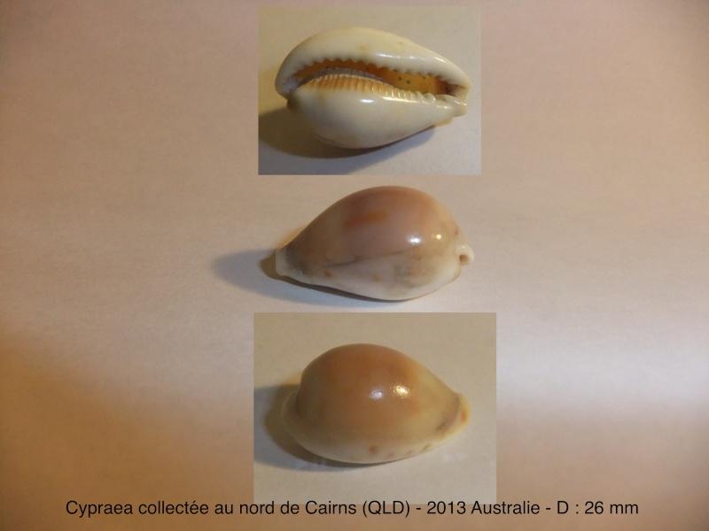 cypraea australienne - Cairns - Queensland = Erronea pyriformis Dscf1610