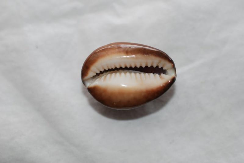 Cypraea à identifier : je sèche ! = cypraea Caputserpentis juvénile Snakes10