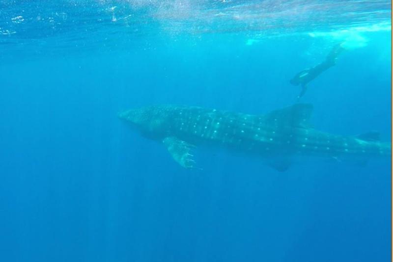 Tubarão baleia 10387510
