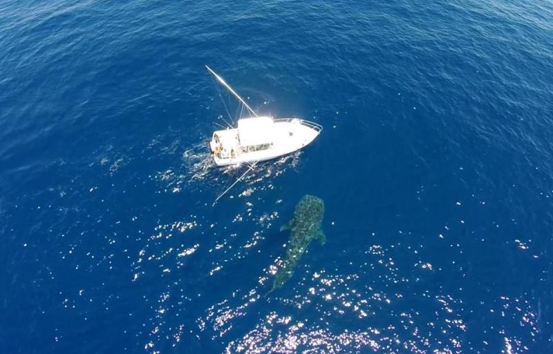 Tubarão baleia 10981810