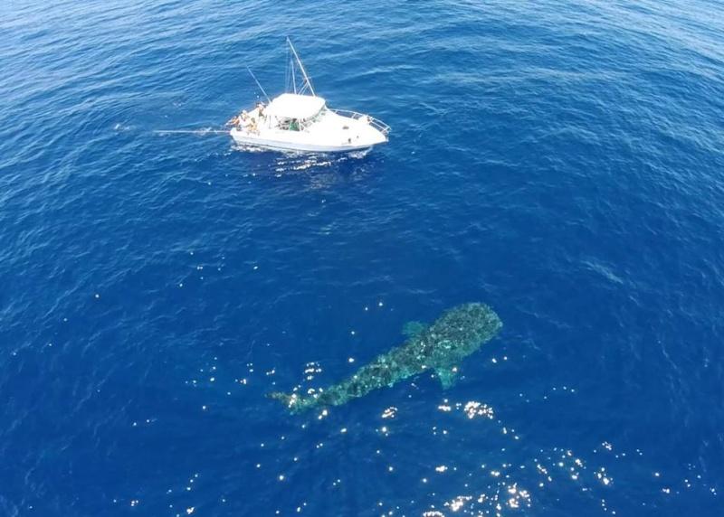 Tubarão baleia 10982410