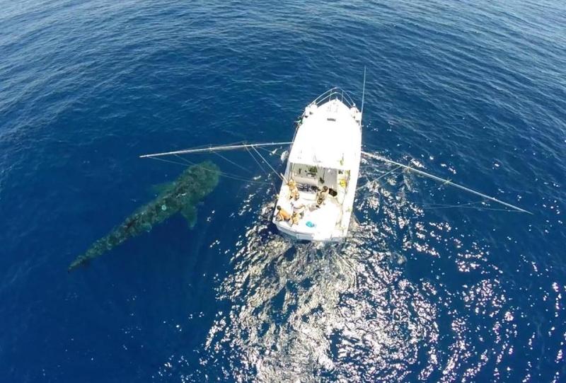 Tubarão baleia 11020210