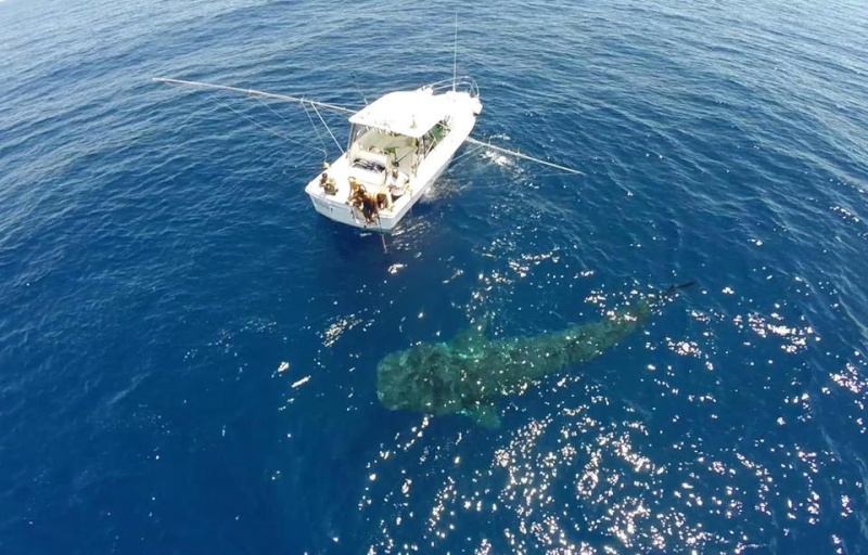 Tubarão baleia 11025110