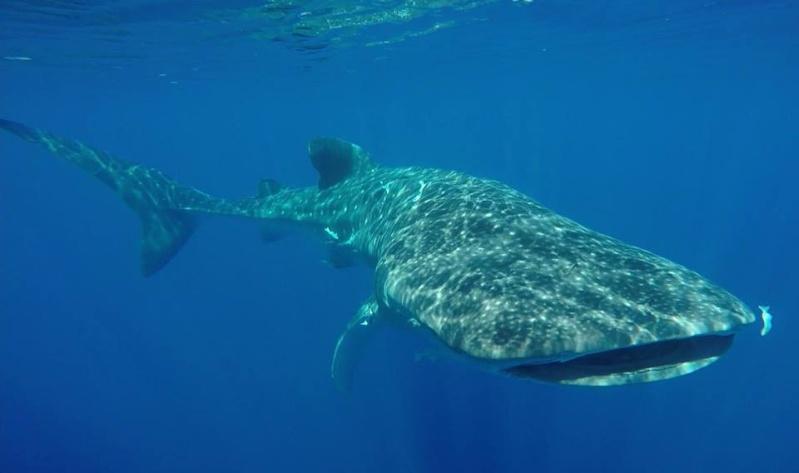 Tubarão baleia 11025111