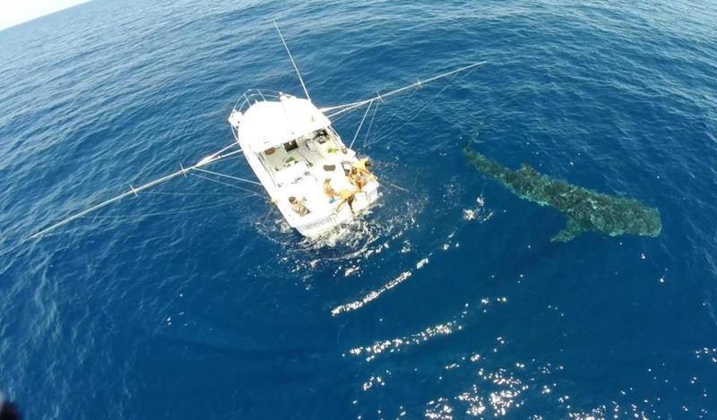 Tubarão baleia 11025710