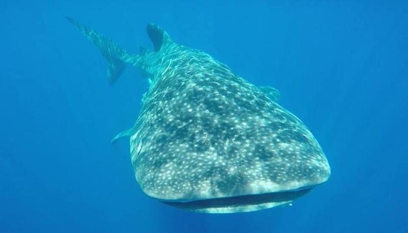 Tubarão baleia 11037610