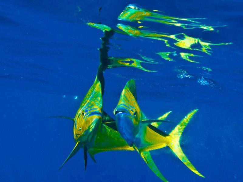 Corrico Oceânico Com Lulas Artificiais Dourad10