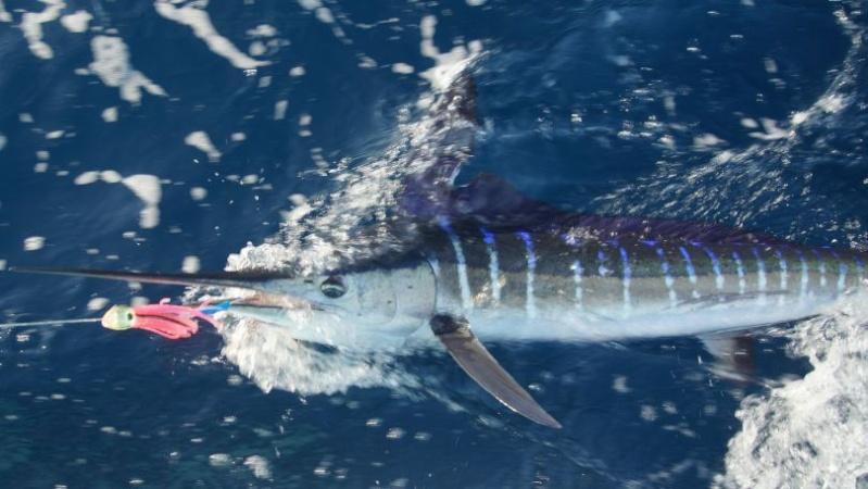 Corrico Oceânico Com Lulas Artificiais Marlin12