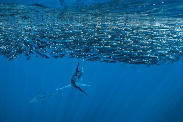 Corrico Oceânico Com Lulas Artificiais Stripe10