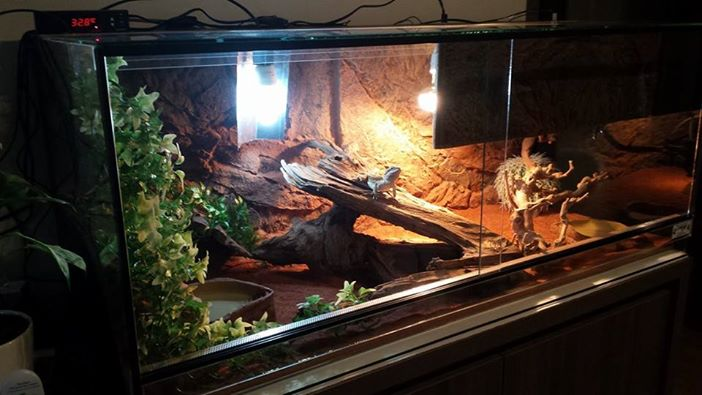 mon premier terrarium Pepito12