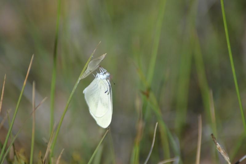 Identification Papillons Dsc_0012