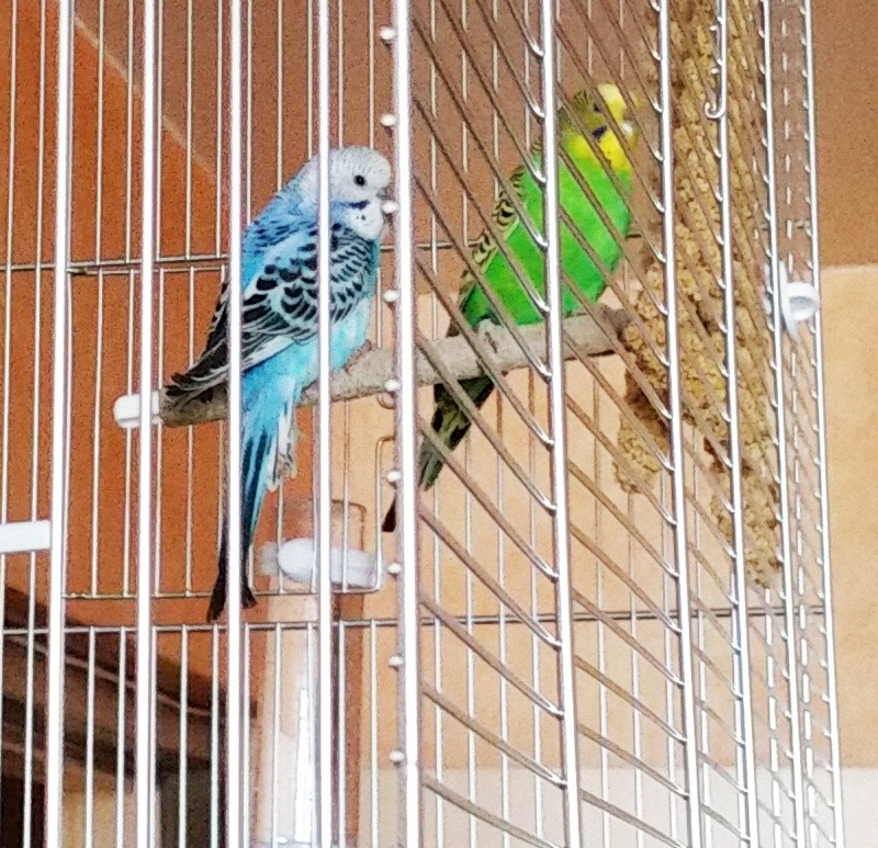 Nos jolies perruches 20150110