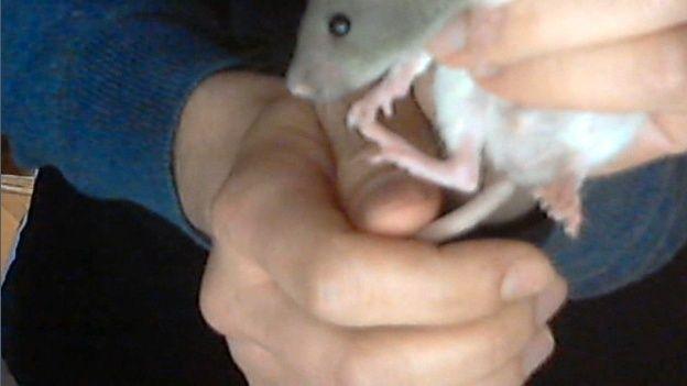Nouveau raton - Age, blessures? - Page 3 Sexe_510