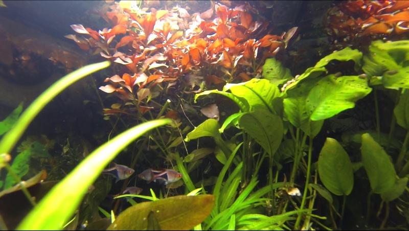 2 aquariums 240L : Spécifique Cacatuoides et Communautaire Site_m36