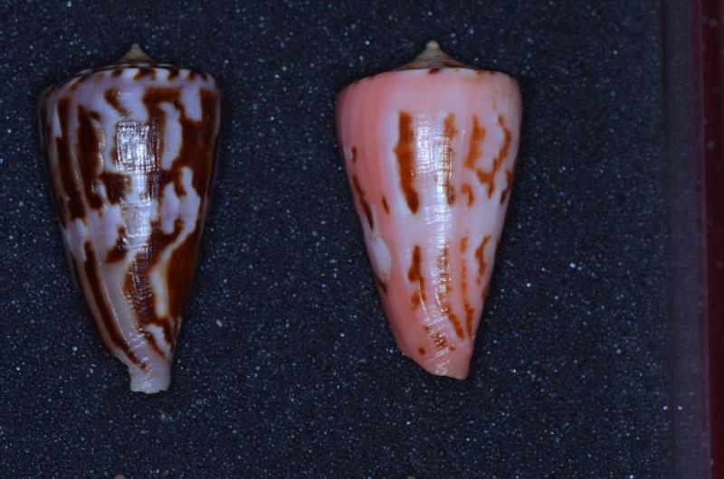 Conus (Dauciconus) norai (da Motta & Raybaudi Massilia, 1992) _dsc7413