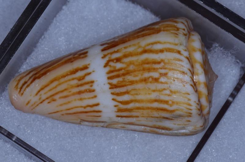 Conus (Dauciconus) boui   da Motta, 1988 - Page 2 _dsc7416
