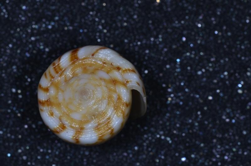Conus (Dauciconus) norai (da Motta & Raybaudi Massilia, 1992) Daucic21