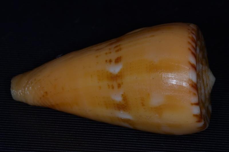 Conus (Dauciconus) boui   da Motta, 1988 - Page 2 Daucic34